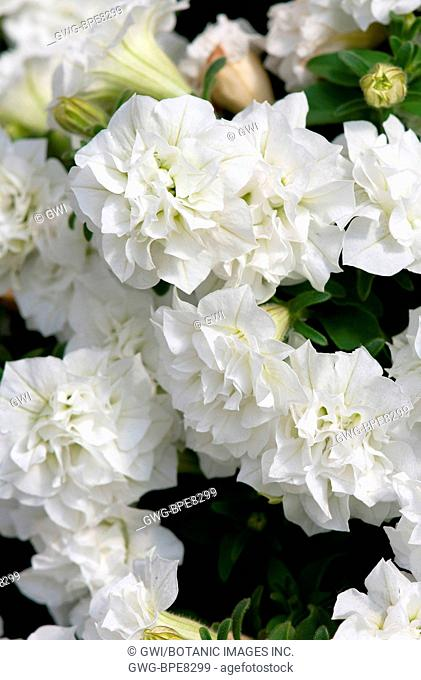 PETUNIA 'SURFINIA SUMMER DOUBLE WHITE'