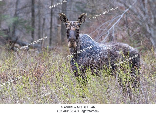 Bull Moose (Alces alces) in early spring in Muskoka near Rosseau, Ontario, Canada