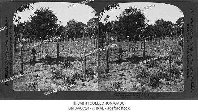 Banana trees just starting to grow after the bunches have been yielded and the trees cut down, Jamaica, 1904. From the New York Public Library
