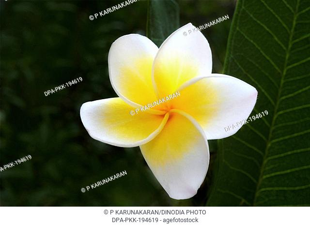 Plumeria rubra, Trivandrum, kerala, india, asia