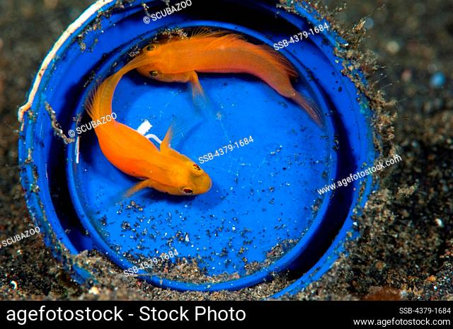 Yellow Pygmy-Goby (Lubricogobius exiguus) pair in blue bucket with eggs, Lembeh Strait, Sulawesi, Indonesia
