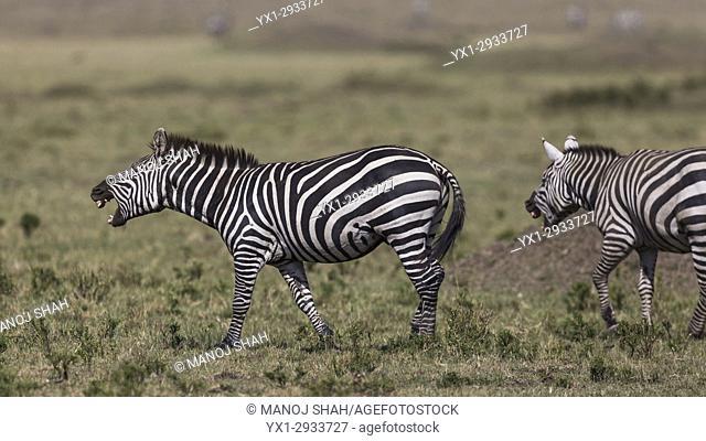 Zebras braying. Masai Mara National Reserve, Kenya