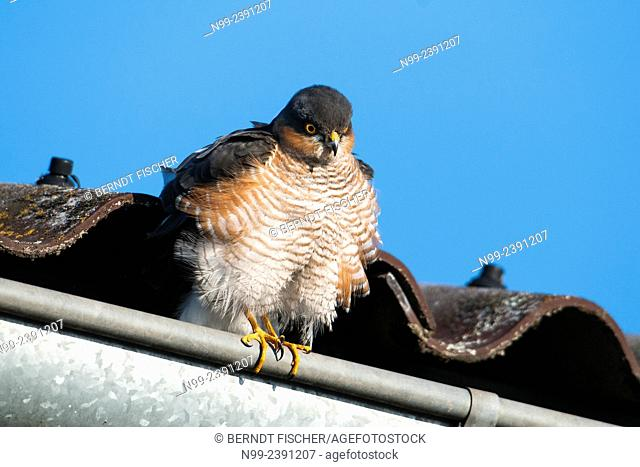 Sparrow hawk (Accipiter nisus), sitting on rain pipe, Bavaria, Germany
