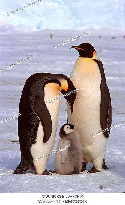 emperor penguins with pups Aptenodytes forsteri