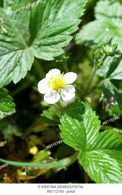 The tiny white flower of a wild Strawberry plant