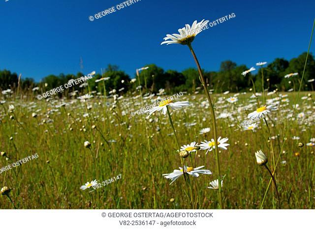 Daisy field, Willamette Mission State Park, Oregon