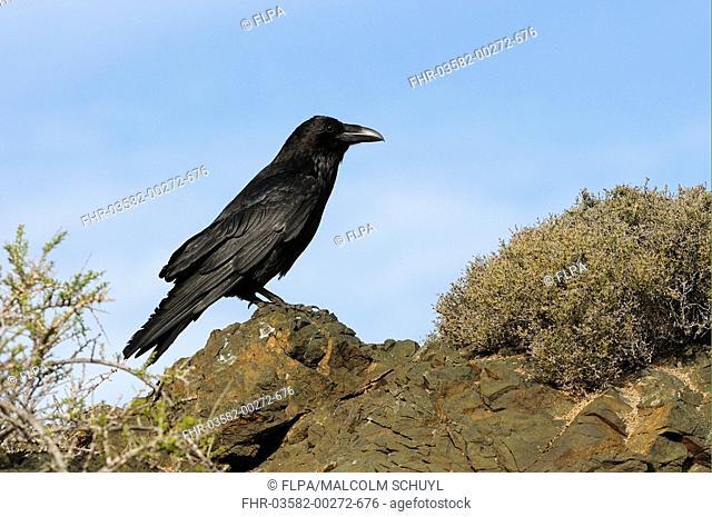 Common Raven Corvus corax sinuatus adult, perched on rock, Baja California, Mexico