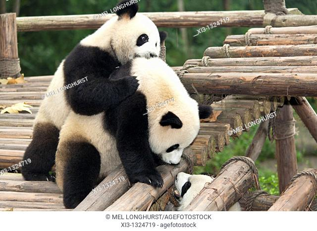 Giant pandas, Ailuropoda melanoleuca, at the Giant Panda Breeding Research Base, Chengdu, Sichuan Province, China