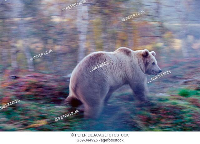 Brown Bear (Ursus arctos) in captivity in motion. Norway