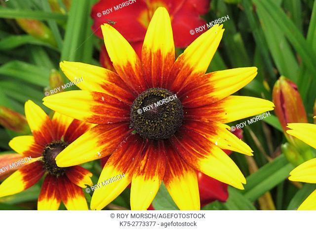 Blanket Flower, Gailardia