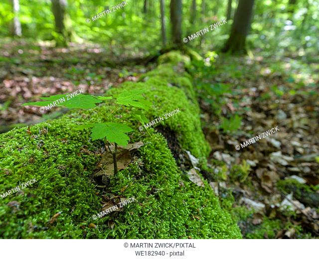 Seedling on dead wood. The woodland Hainich in Thuringia, National Park and part of the UNESCO world heritage - Primeval Beech Forests of the Carpathians and...