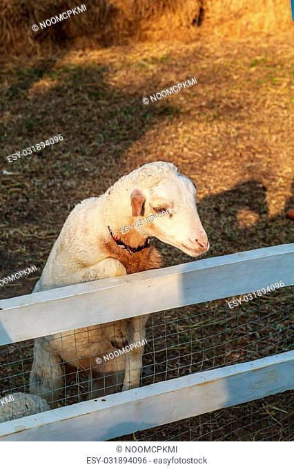 White sheep is mammal living in Europe