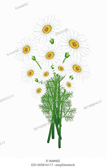 A Lovely Fresh Chamomile Bouquet in White Background