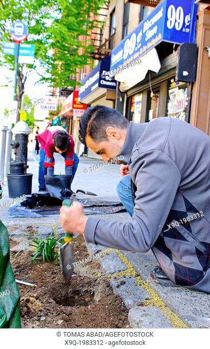 Father and son planting on a city street. Hispanic community service volunteers of the Harlem Spanish Manhattan Seventh Day Adventist Church plant flowers in an...