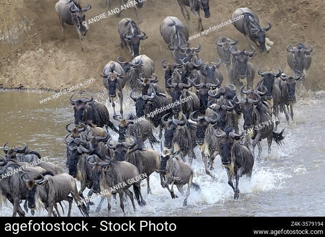 Blue wildebeest, brindled gnu (Connochaetes taurinus) herd crossing the Mara river by jumping in during the great migration, Serengeti national park, Tanzania