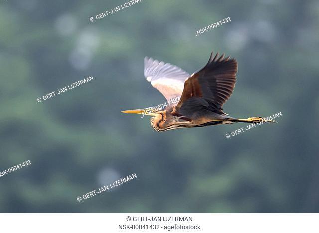Purple Heron (Ardea purpurea) in flight, the Netherlands, Overijssel, De Auken