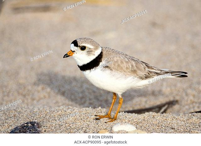 Endangered Piping Plover (Charadrius melodus) adult, Grand Beach Provincial Park, Manitoba, Canada