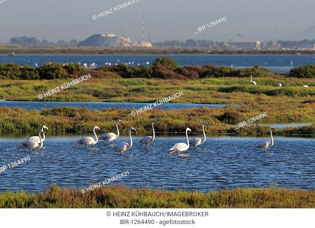 Greater Flamingos wading through water (Phoenicopterus ruber roseus), Stagno di Cagliari, Sardinia, Italy, Europe