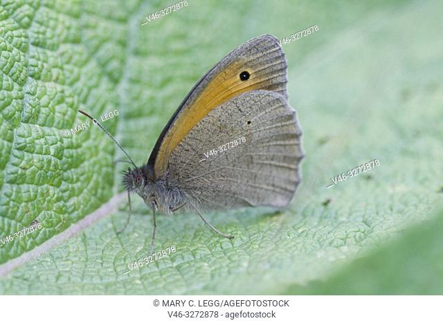 Meadow Brown, Maniola jurtina. Large chestnut butterfly with eyespots found in pasture land, meadows and grassy parks with tall grass