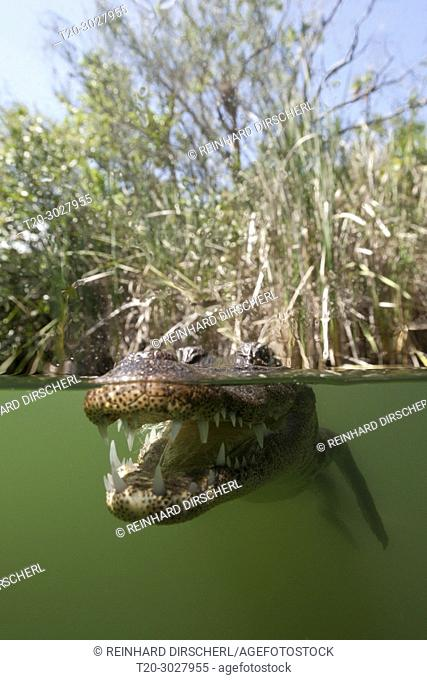 Morelets Crocodile, Crocodylus moreletii, Cancun, Yucatan, Mexico