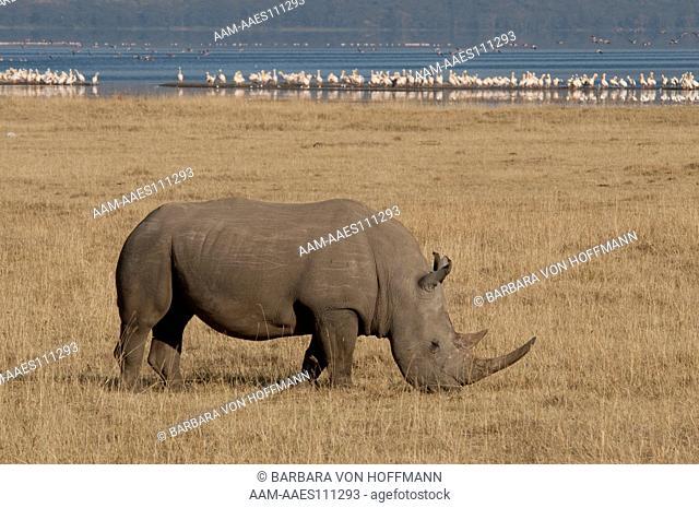 White rhino (Ceratotherium simum) grazing with Lake Nakuru in background, Lake Nakuru National Park, Kenya