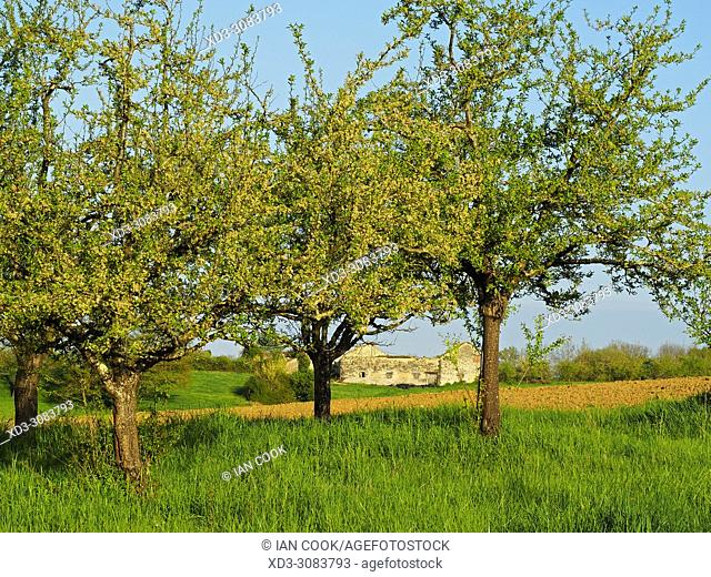 plum orchard, Lot-et-Garonne Department, Aquitaine, France