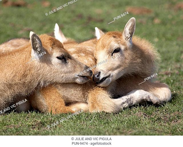 Two young Pere David deer Elaphurus davidianus fawns kissing each other
