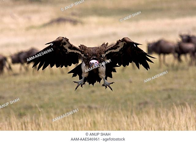 Lappet-faced Vulture coming in to land (Aegypius tracheliotus). Maasai Mara National Reserve, Kenya. Aug 2008