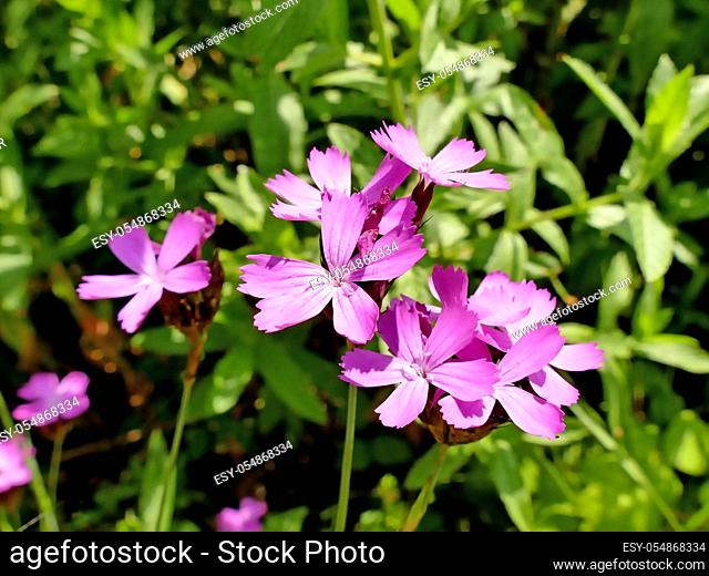 Carthusian Pink, medieval medicinal herb of the abbeys