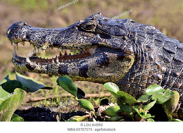 Brazil, Pantanal, cayman, Caiman yacare, portrait, at the side, sunbathing in the bank border in the midst of water lilies