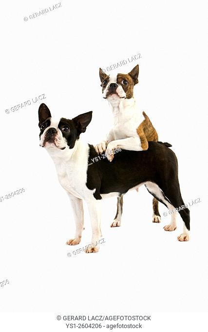 Boston Terrier Dog, standing against White Background