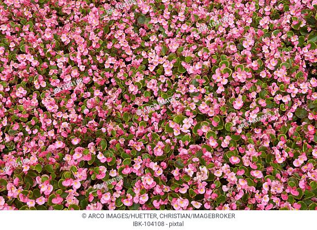 Bedding Begonia (Begonia-semperflorens-Hybride)