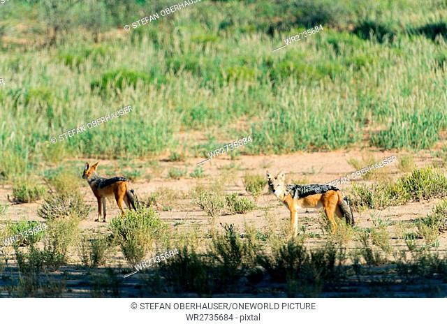 South Africa, North Cape, Mier, Kgalagadi Transfrontier Park, Bugaboo, Blackbacked Jackal
