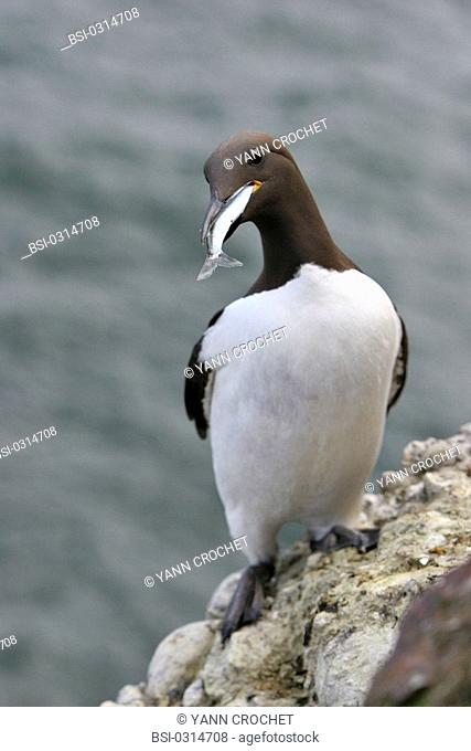 Common murre Common murre Uria aalge with a fish in the beak, Shetland Islands, Scotland. Uria aalge  Common murre  Guillemot  Alcid  Seabird  Bird