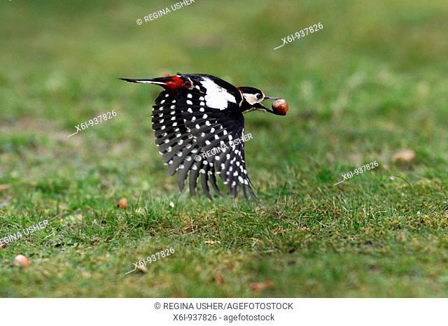 Great Spotted Woodpecker Dendrocopos major - in flight with hazelnut in beak