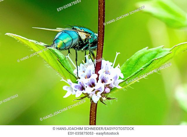 fly on a mint flower