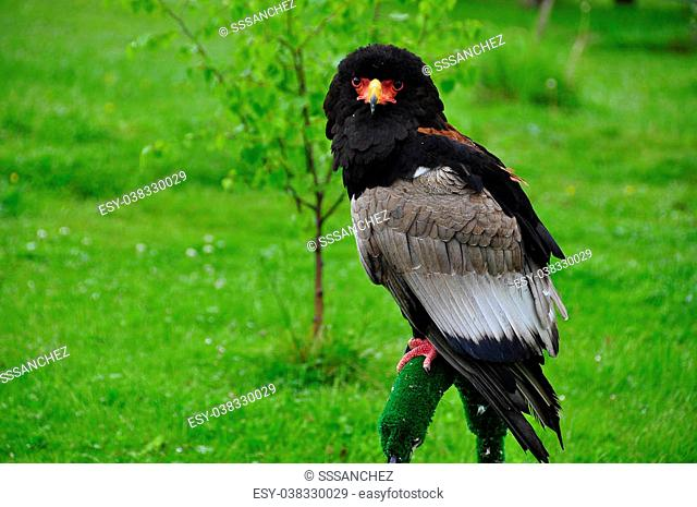 Bateleur Eagle/ Terathopius ecaudatus/ named because of their exceptional abilities to fly and maneuver in the air, higher than normal among raptors flying...