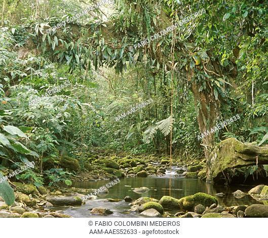 Atlantic Forest with Ficus Tree, Parana, Brazil