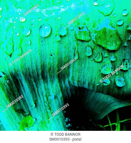 Water droplets on tulip leaf