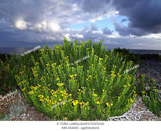Flora at Las Catedrales beach (Helychrysum picardii), Lugo province, Galicia, Spain