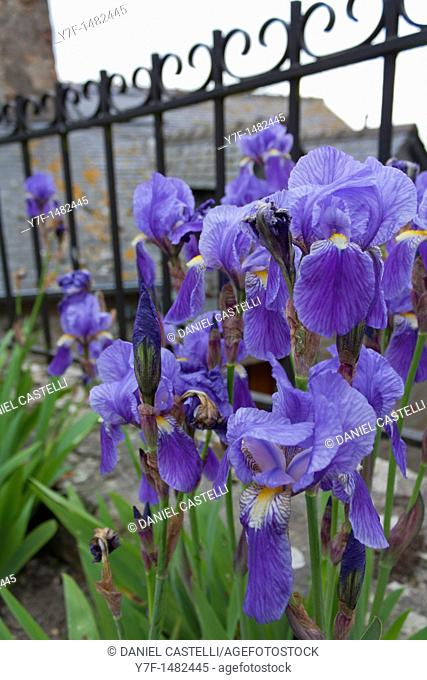 iris in cemetery, Mont Saint Michel, France
