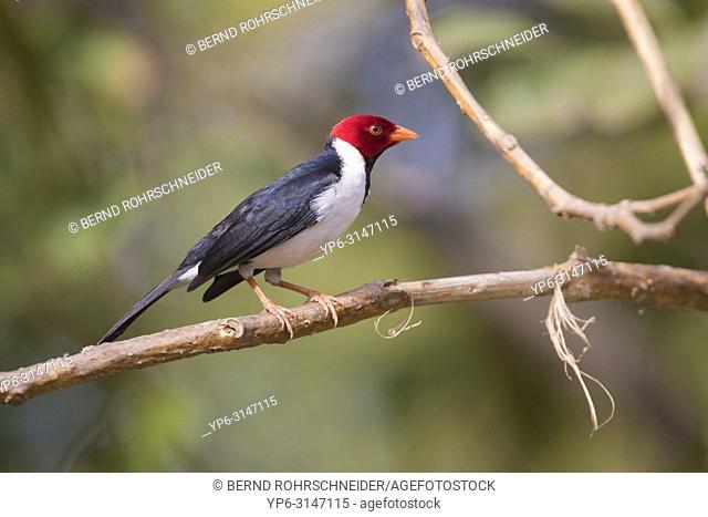 Yellow-billed Cardinal (Paroaria capitata), adult perched on branch, Pantanal, Mato Grosso, Brazil