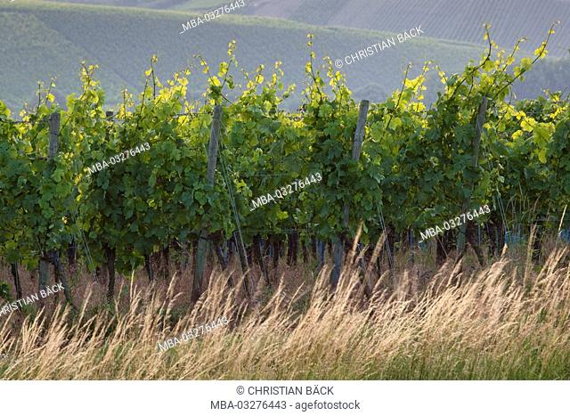 Vines in the Volkacher Main loop, Volkach, Lower Franconia, Franconia, Bavaria, South Germany, Germany