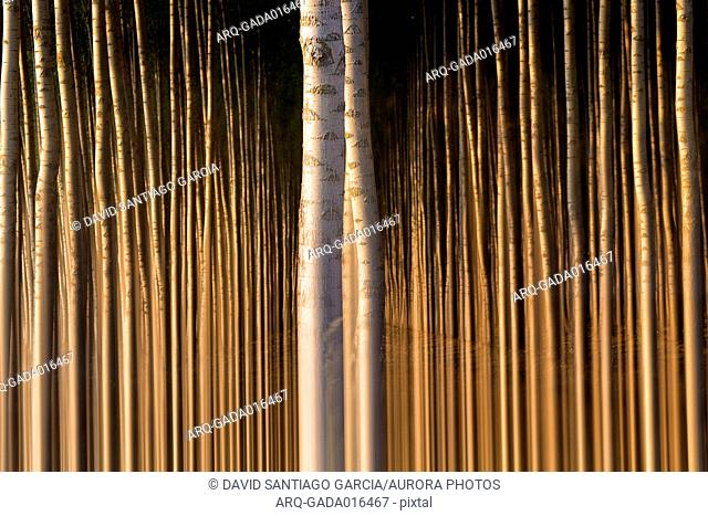 Surreal nature photograph of poplar (Populus alba) tree in forest, Villafafila Natural Park, Zamora, Castile and Leon, Spain