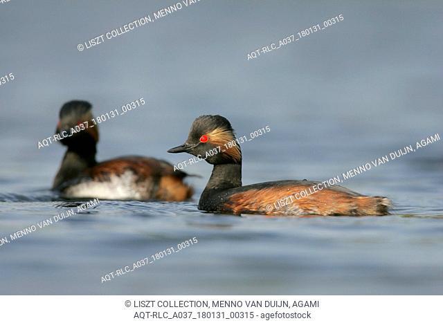 Black-necked Grebe pair in summer plumage, Black-necked Grebe, Podiceps nigricollis
