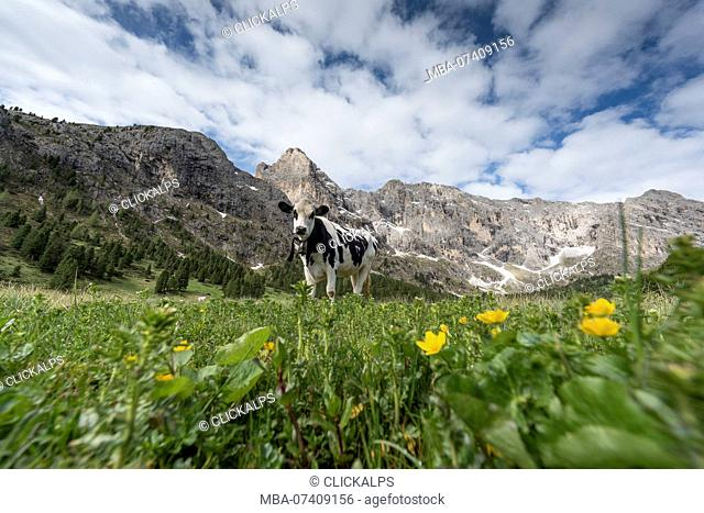 Italy, Europe, Dolomites, Alps, Trentino, Fassa Valley, alpine pasture, cows, grazing cows, Duron Valley site
