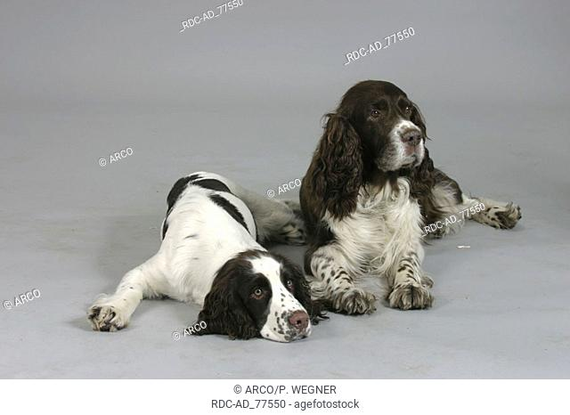 English Springer Spaniel with puppy