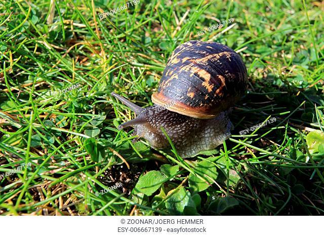 Cornu aspersum, garden snail