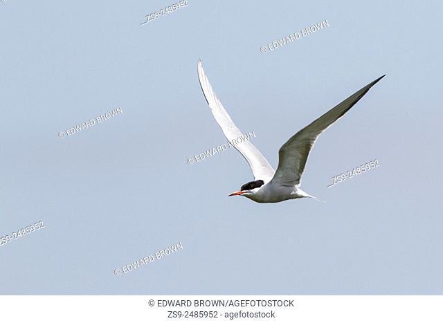 Common tern (Sterna hirundo) Surrey, England, UK