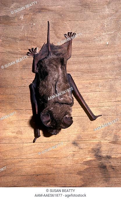Mexican Freetail Bat (Taderide brasiliensis) Santa Cruz Island - CA, California